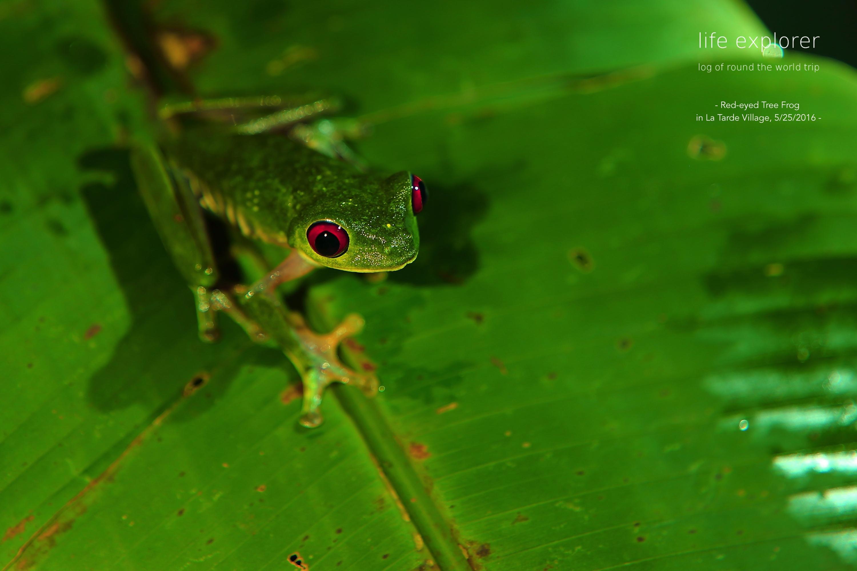 """#51 世界で最もカラフルなカエルが見られる場所 「コスタリカの国立公園群」- The World's Most Colorful-Frog-Spotted Place """"National Parks in Costa Rica"""""""